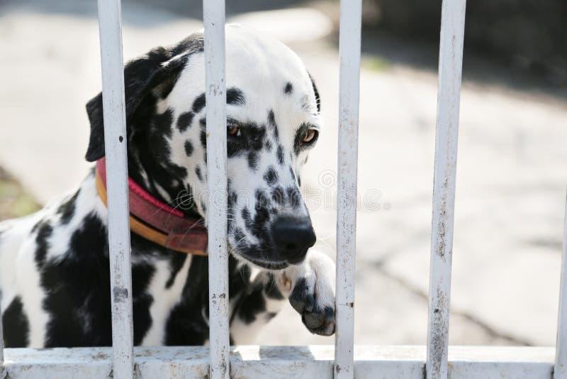 Härlig dalmatian hund i ett djurt skydd som ser till och med staketet som undrar, om någon ska ta honom som är hem- i dag arkivbilder