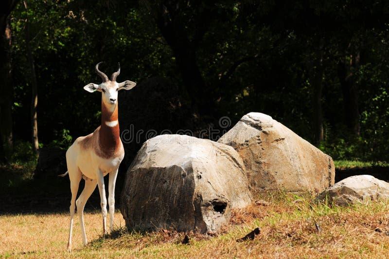 härlig damagazelle arkivfoto