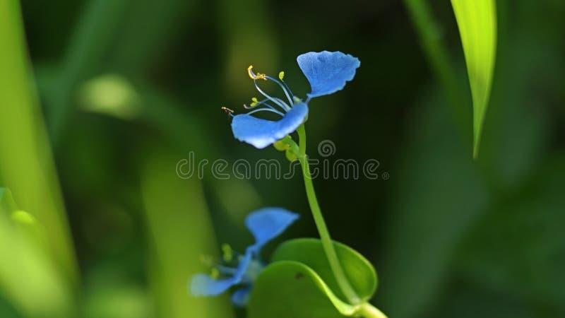Härlig dayflower i trädgården royaltyfria bilder