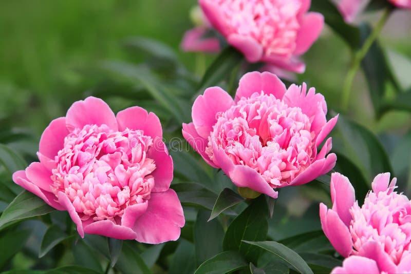 Härlig delikat rosa pion royaltyfri fotografi
