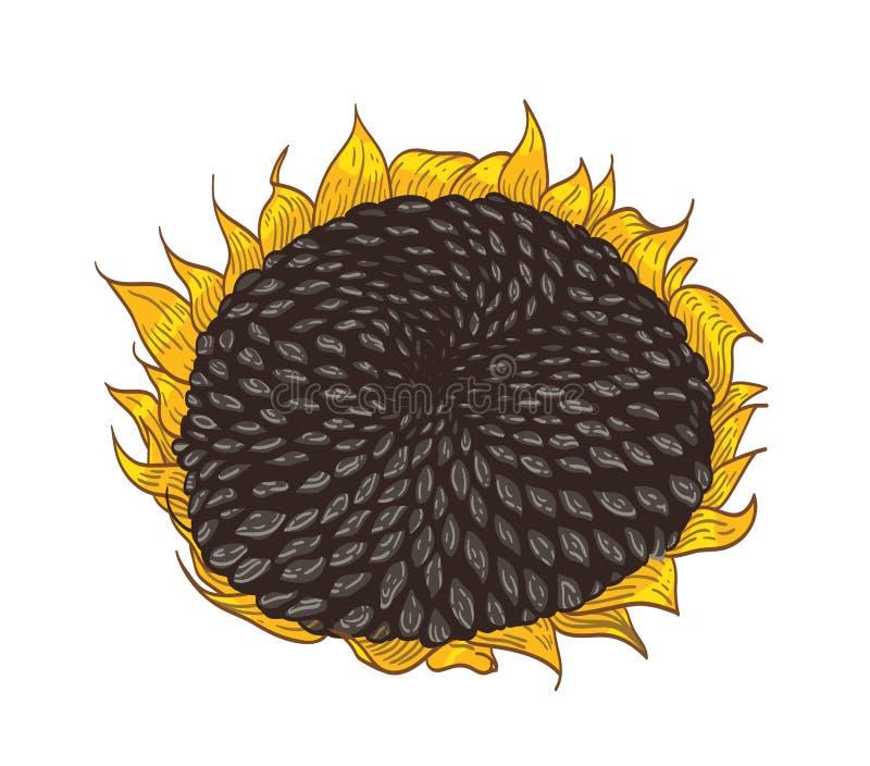 Härlig detaljerad botanisk teckning av solrosdelen Den ursnygga blomman med frö och kronblad räcker dragit på vit stock illustrationer