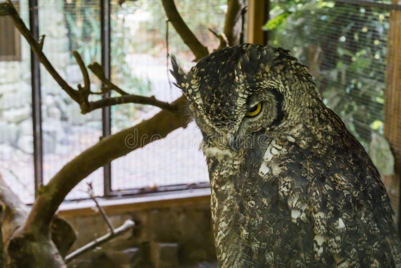 Härlig djurlivfågelstående av en eurasian örnuggla i closeup royaltyfria bilder