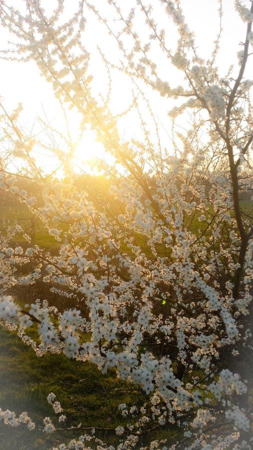 Härlig dramatisk solnedgång bak ett träd i blom fotografering för bildbyråer
