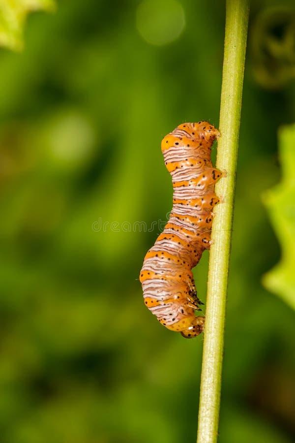 Härlig dryad Caterpillar arkivbild