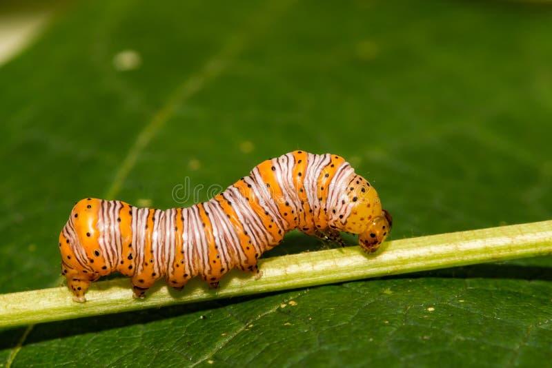 Härlig dryad Caterpillar arkivfoto