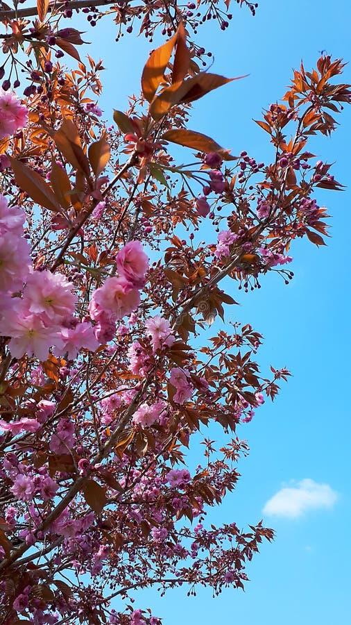 Härlig dubbel dekorativ körsbärsröd blomning i en trädgård i nordliga England i Europa arkivbilder