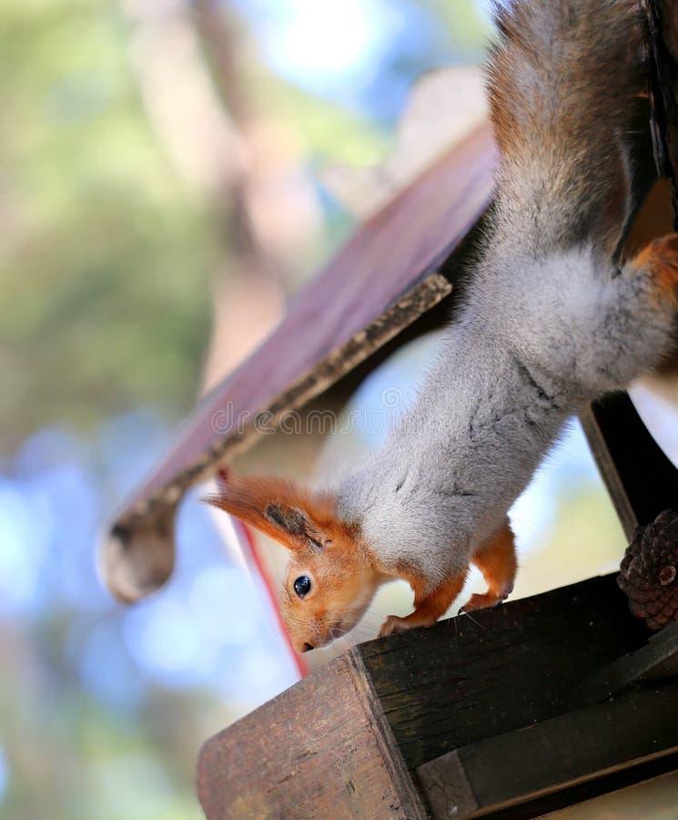 Härlig ekorre på ett träd fotografering för bildbyråer