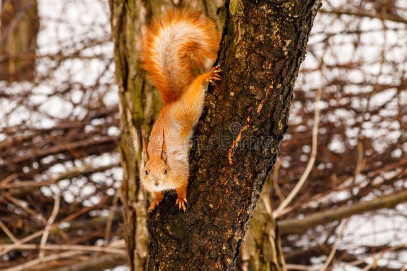 Härlig ekorre på snön som äter en mutter arkivfoton