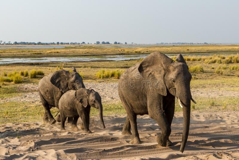Härlig elefant i den Chobe nationalparken i Botswana arkivfoto