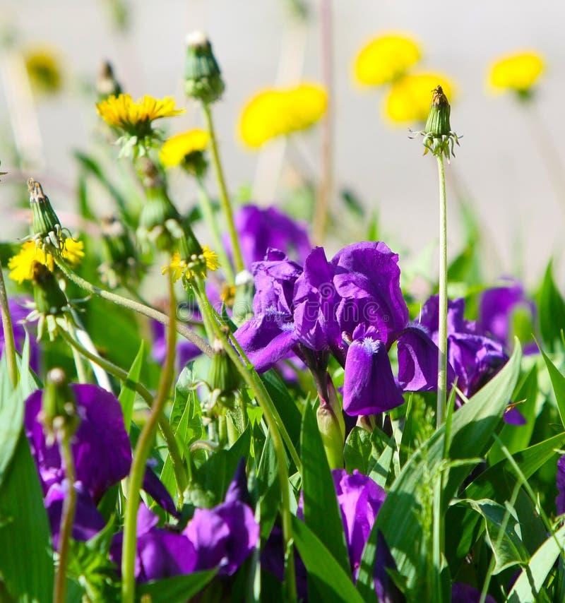 Härlig elegant bakgrund av irisblommor och maskrosor royaltyfria foton