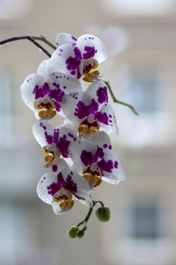 Härlig enkel blomma för vit och rosa orkidé i inomhus phalaenopsis för blom som prickas med ljust - gula kronblad, gröna knoppar royaltyfri fotografi