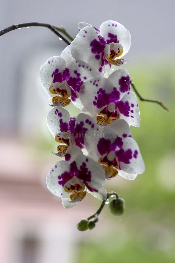 Härlig enkel blomma för vit och rosa orkidé i inomhus phalaenopsis för blom som prickas med ljust - gula kronblad, gröna knoppar arkivfoton