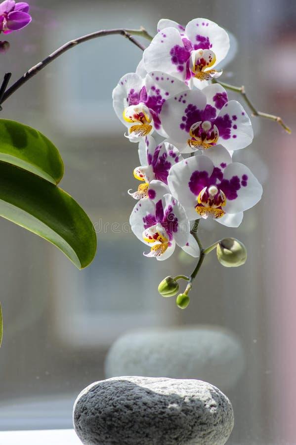 Härlig enkel blomma för vit och rosa orkidé i inomhus phalaenopsis för blom som prickas med ljust - gula kronblad, gröna knoppar royaltyfri foto