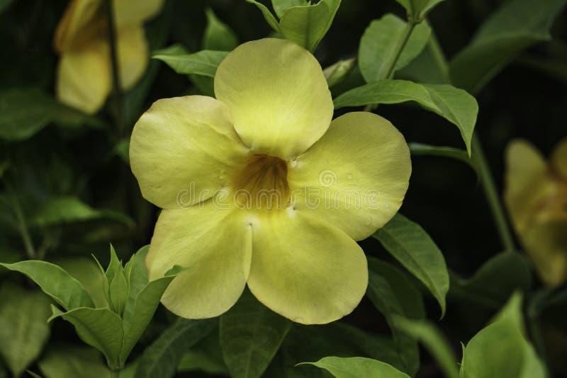 Härlig enkel gul blomma i takträdgården, HD-bildslut upp royaltyfria bilder