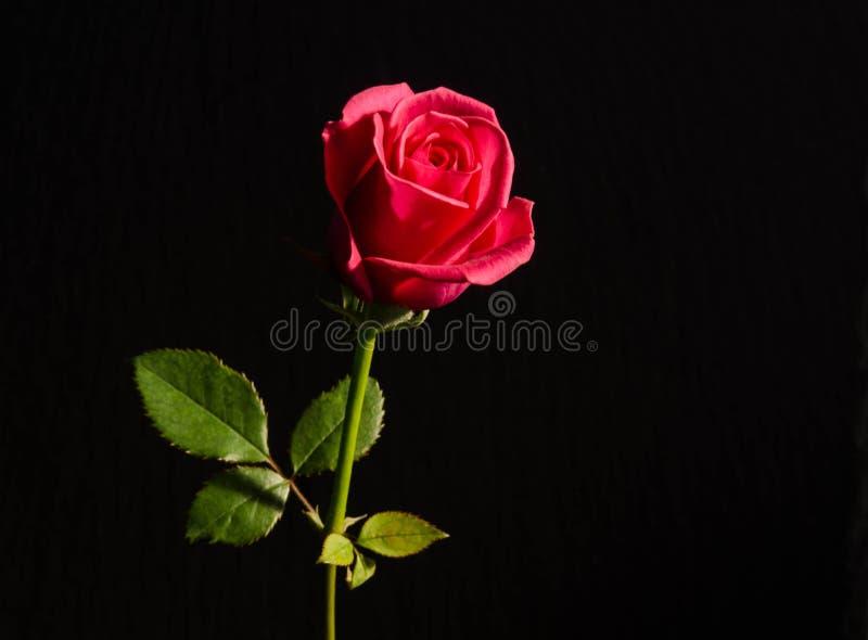 Härlig enkel röd ros royaltyfri foto