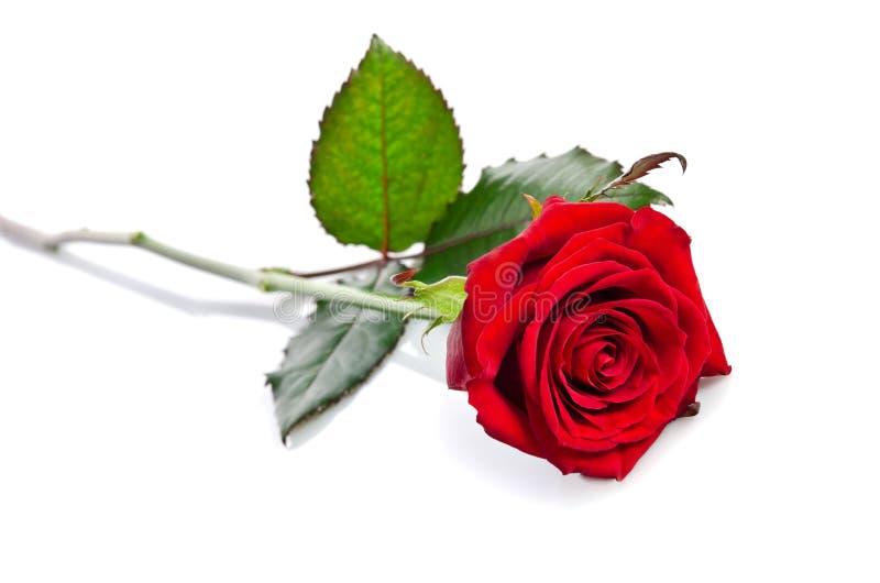 Härlig enkel röd ros royaltyfri bild