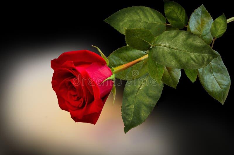 Härlig enkel röd ros med sidor på mörk bakgrund royaltyfria bilder