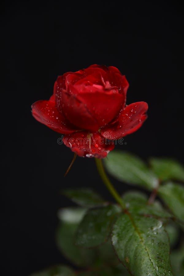 Härlig enkel röd ros på en mörk bakgrund fotografering för bildbyråer