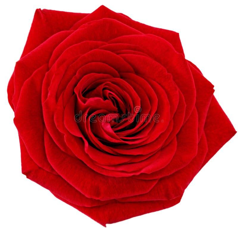 Härlig enkel röd rosblomma. Isolerat. arkivbilder