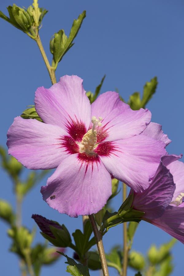 Härlig enkel rosa blomma av den rosa hibiskussyriacusen som blommar i trädgården arkivfoto