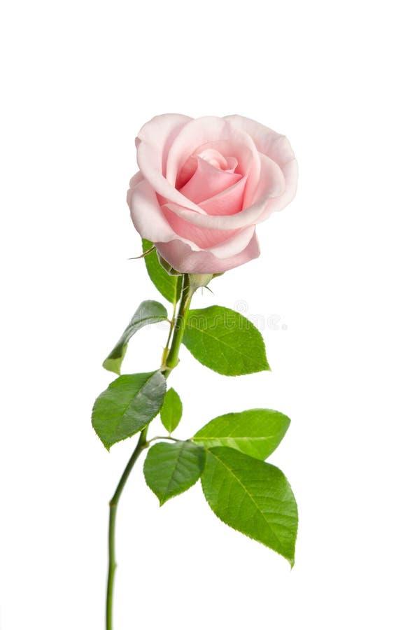 Härlig enkel rosa färgros royaltyfri foto