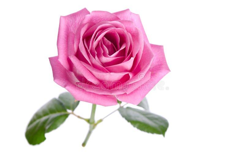 Härlig enkel rosa färgros arkivbild