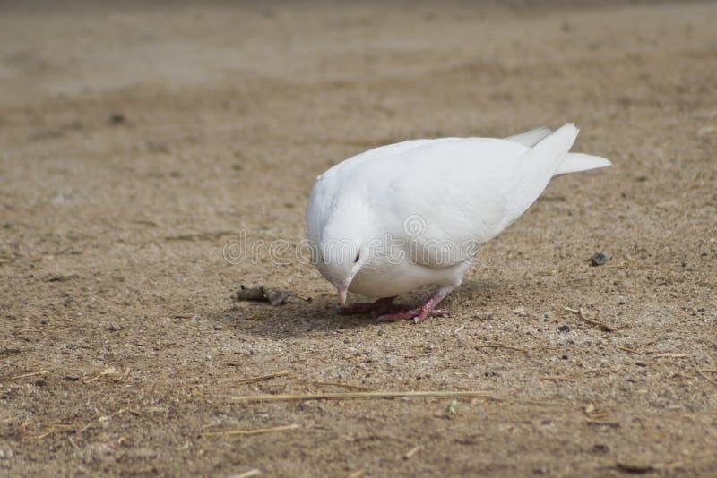 Härlig ensam vit dykt tigga för mat arkivfoto