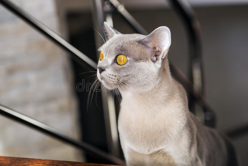 Härlig exotisk katt i solljusen royaltyfri fotografi