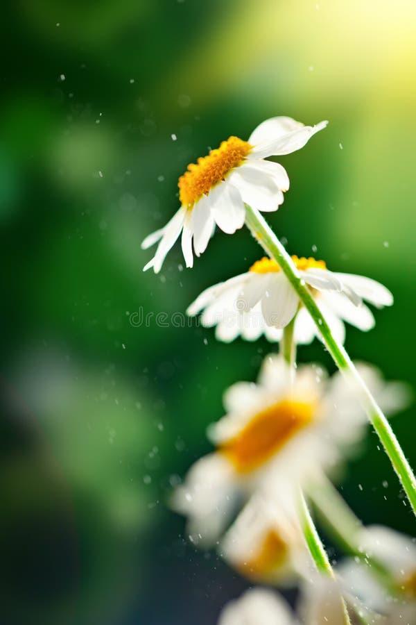 Härlig fältkamomill i en trädgård tr?dg?rds- sommar f?r blomningblommor Fin äng Bl?tthav, Sky & moln royaltyfri foto