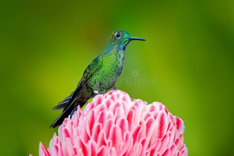 Härlig färgplats från naturen denkrönade briljanta kolibrin, den Heliodoxa jaculaen, near rosa färgblom med rosa färger blommar b fotografering för bildbyråer