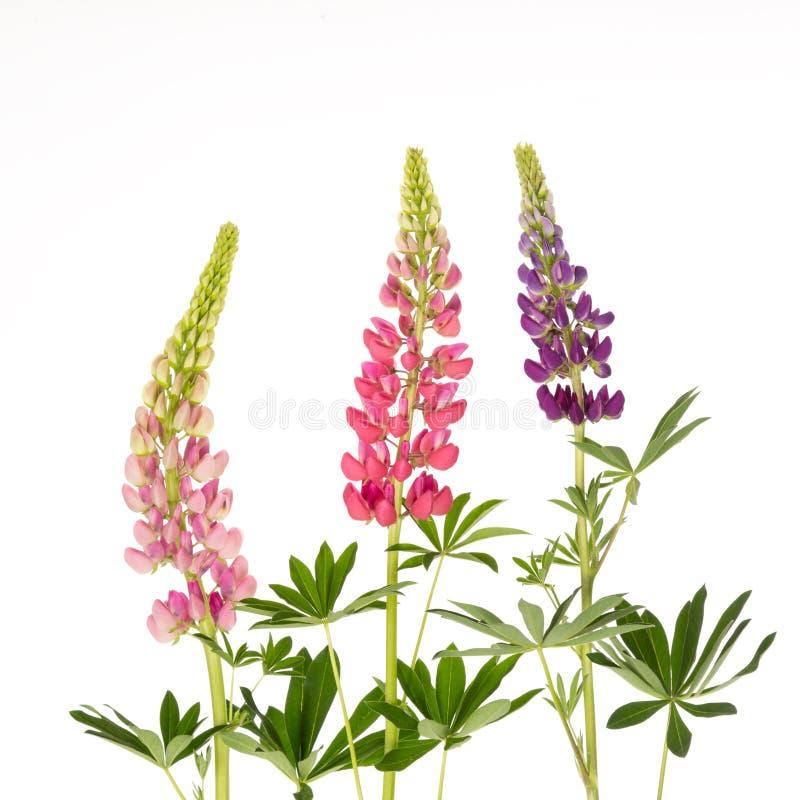 Härlig färgrik blommalupine royaltyfri fotografi