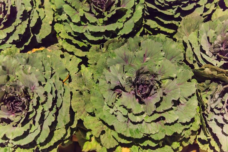 Härlig färgrik dekorativ dekorativ blomning Rosette Cabbage och grönkålväxtbakgrund Arbeta i trädgården nedgångsäsong som landska royaltyfri bild