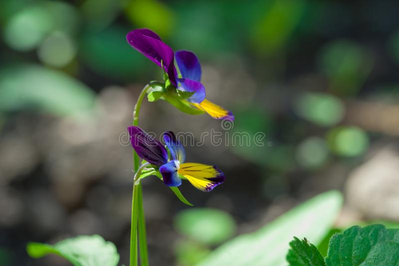 Härlig, färgrik delikat purpurfärgad och gul blomma med suddig bakgrund i trädgården arkivbild
