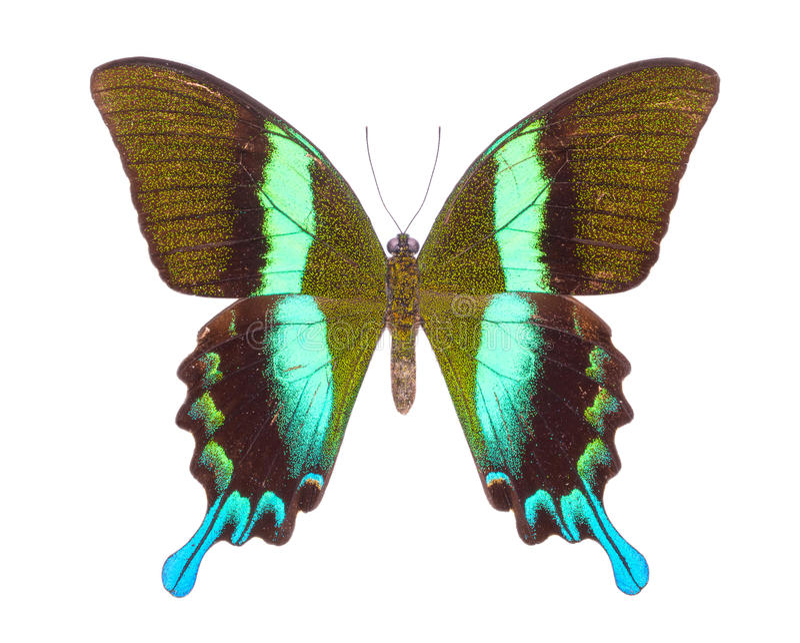 Härlig färgrik fjäril som isoleras på vit arkivfoto