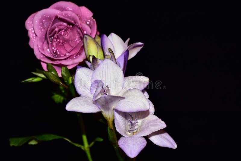 Härlig färgrik freesia med rosen i solskenet arkivbild