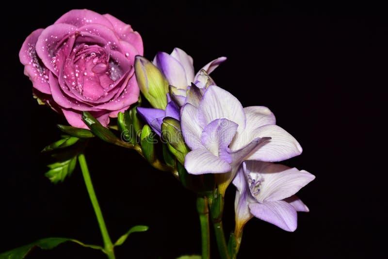 Härlig färgrik freesia med rosen i solskenet arkivfoton