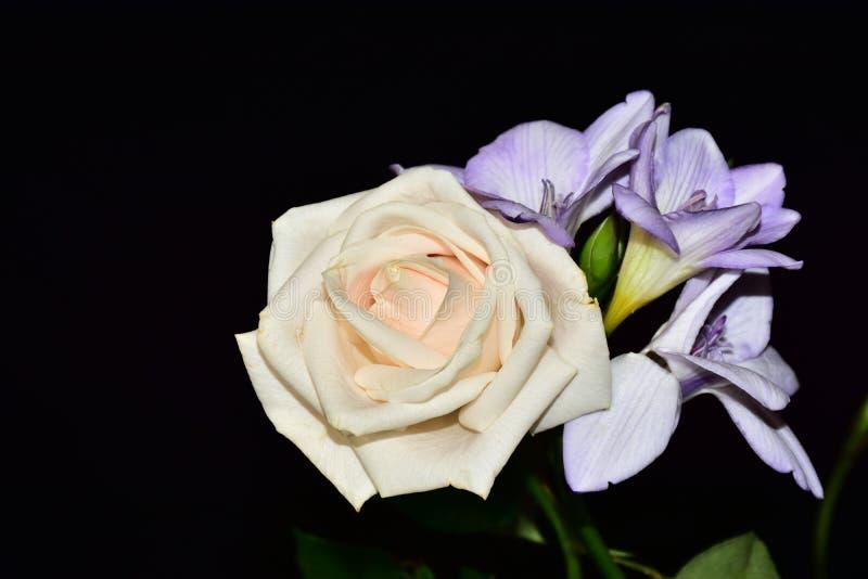 Härlig färgrik freesia med rosen i solskenet royaltyfria bilder