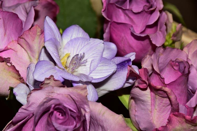 Härlig färgrik freesia med rosesclose upp i solskenet royaltyfria bilder