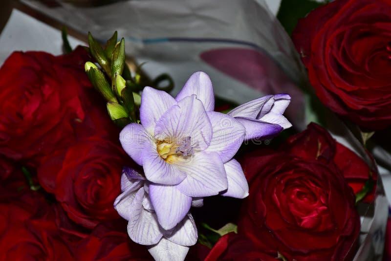 Härlig färgrik freesia med rosesclose upp i solskenet arkivfoto