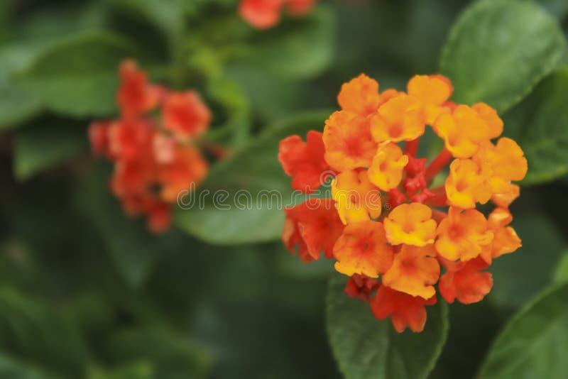 Härlig färgrik häckblomma, Lantana som gråter lantanaen, Lantana royaltyfri fotografi