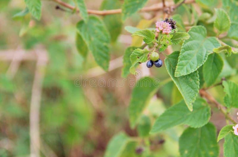 Härlig färgrik häckblomma som gråter lantanaen, Lantanacamara Linn royaltyfria foton