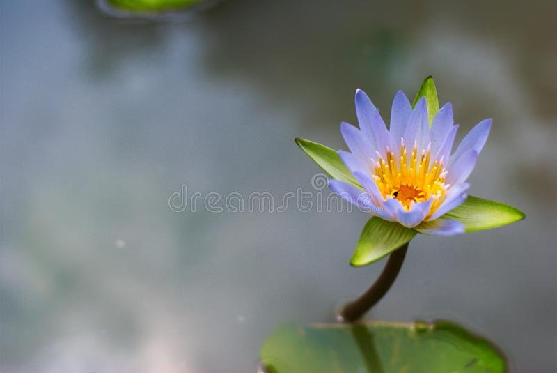 Härlig färgrik lotusblomma i naturlig pöl royaltyfri fotografi