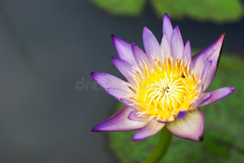 Härlig färgrik lotusblomma i naturlig pöl royaltyfri foto