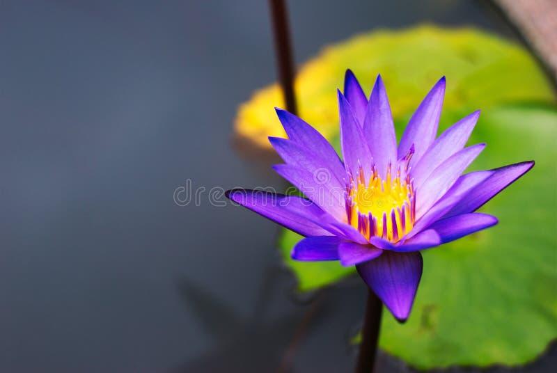Härlig färgrik lotusblomma i naturlig pöl royaltyfri bild