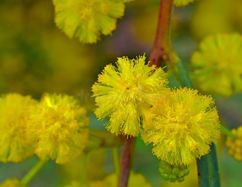 Härlig färgrik mimosa arkivbild