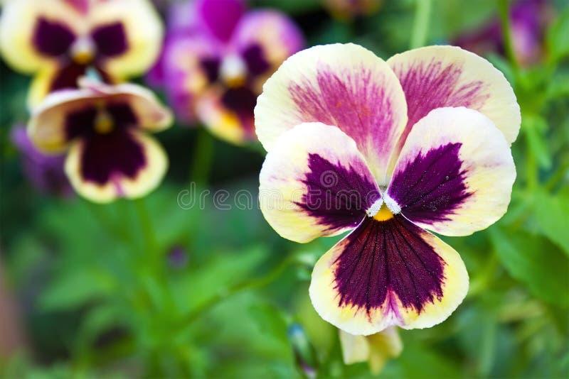Härlig färgrik pansy royaltyfria bilder