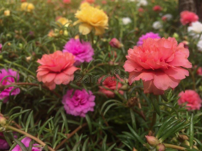 Härlig färgrik portulacablomma i trädgård med solljus arkivbild