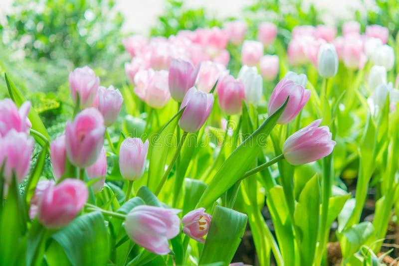 Härlig färgrik tulpanblomma royaltyfri foto