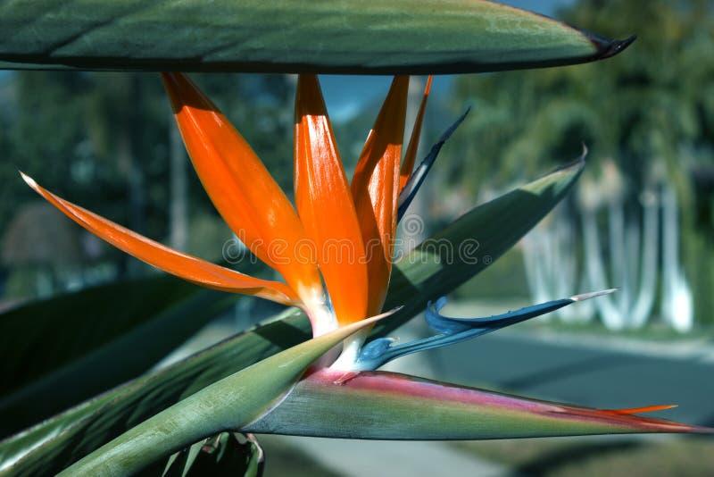 Härlig fågel av reginae för Strelitzia för Paradise blomma fotografering för bildbyråer