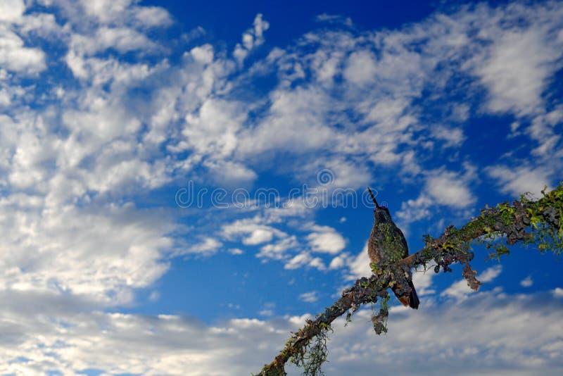 Härlig fågel i naturskoglivsmiljön med blå himmel och moln Detalj av den skinande glansiga fågeln Storartad kolibri, Eugene arkivbilder